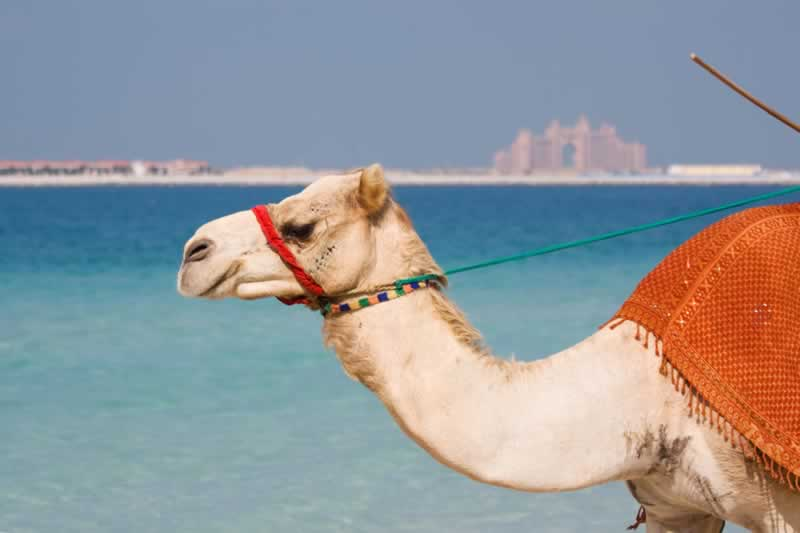 Camel on Jumeirah Beach Dubai